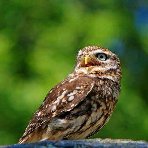 owl-275940_1920